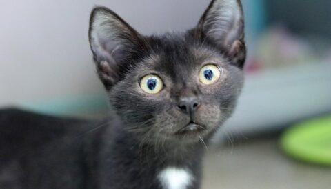 ג'ורג'י – חתול לאימוץ - אגודת צער בעלי חיים בישראל
