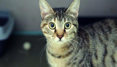 צילה - חתולה לאימוץ - אגודת צער בעלי חיים בישראל