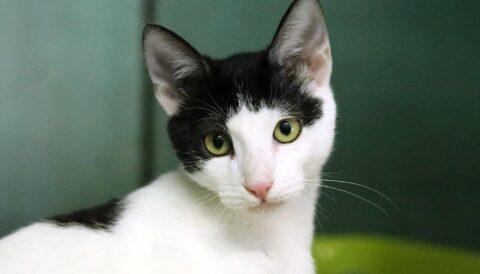 טרה- חתולה לאימוץ - אגודת צער בעלי חיים בישראל