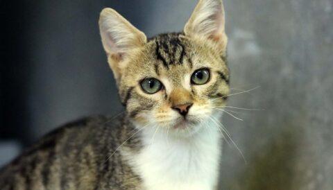 פיצית - חתולה לאימוץ - אגודת צער בעלי חיים בישראל