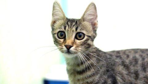 שוקי - חתול לאימוץ - אגודת צער בעלי חיים בישראל