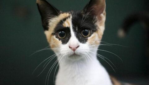 טאסיה- חתולה לאימוץ - אגודת צער בעלי חיים בישראל