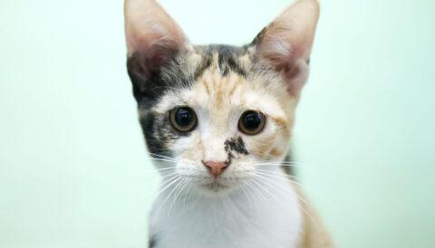 פוליה- חתולה לאימוץ - אגודת צער בעלי חיים בישראל