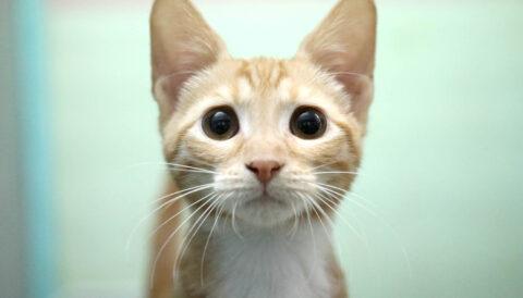 שמש - חתול לאימוץ - אגודת צער בעלי חיים בישראל