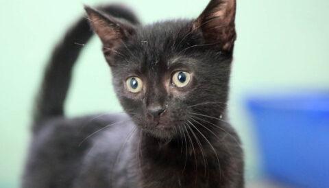 פנטרה- חתול לאימוץ - אגודת צער בעלי חיים בישראל