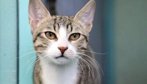 דוזיה - חתולה לאימוץ - אגודת צער בעלי חיים בישראל