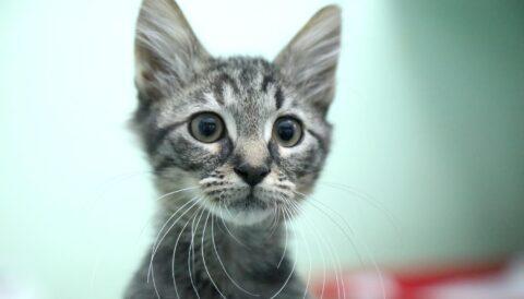 טום - חתול לאימוץ - אגודת צער בעלי חיים בישראל