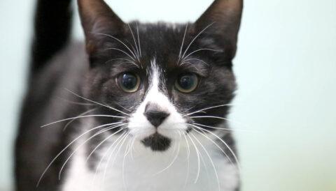 פנדה - חתול לאימוץ - אגודת צער בעלי חיים בישראל