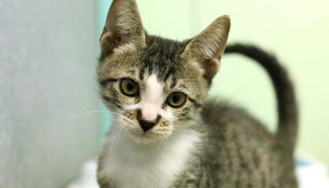 יוסקה – חתול לאימוץ - אגודת צער בעלי חיים בישראל