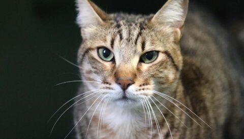לקס - חתול לאימוץ - אגודת צער בעלי חיים בישראל