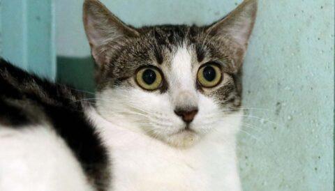 מיקה - חתולה לאימוץ - אגודת צער בעלי חיים בישראל