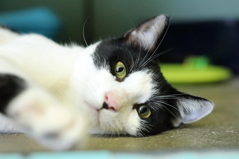 קיקי - חתול לאימוץ - אגודת צער בעלי חיים בישראל