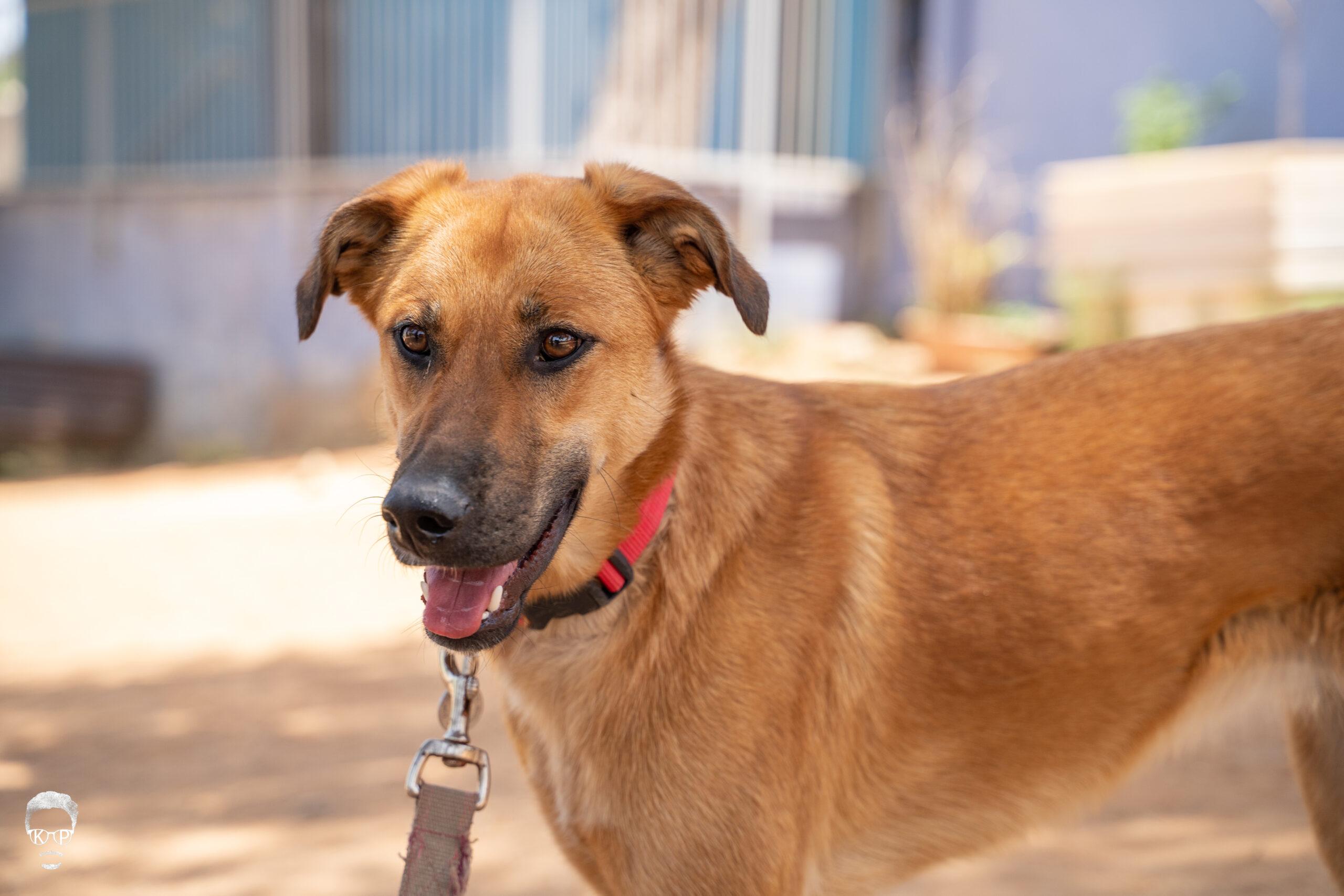 שיפקה- כלבה לאימוץ אגודת צער בעלי חיים בישראל